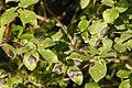 Rhytisma.salicinum2.-.lindsey.jpg
