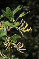 Ribes aureum 9833.JPG