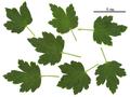 Ribes rotundifolium 213-001.png