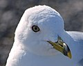 Ring-billed Gull (Larus delawarensis) - Port au Choix, Newfoundland 2019-08-19 (04).jpg