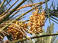 Ripe and dry dates fruit bunches.jpg