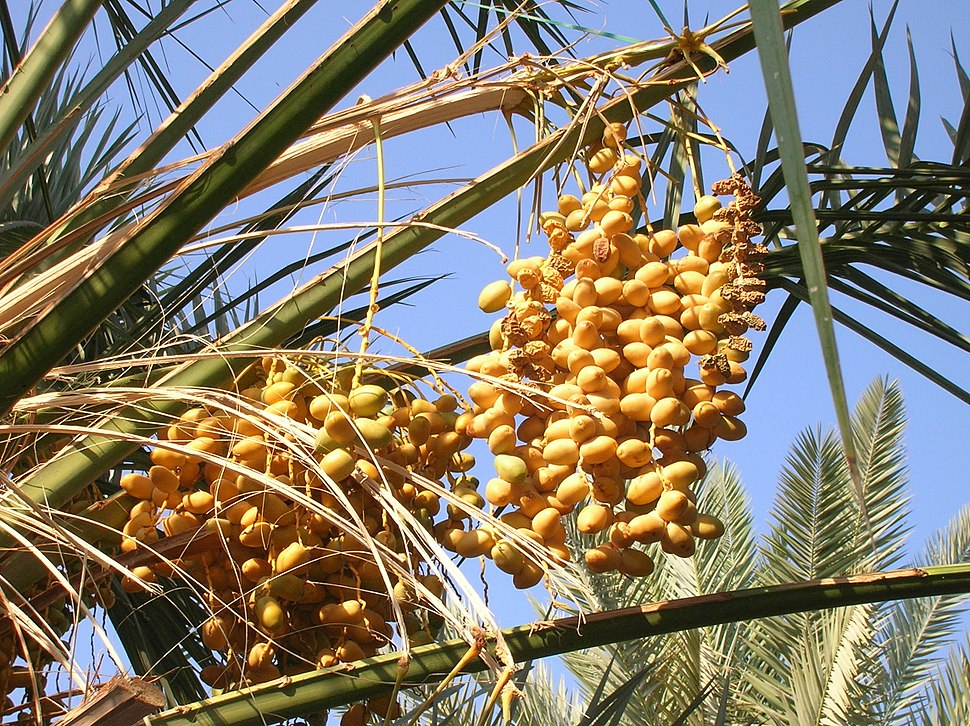 Ripe and dry dates fruit bunches