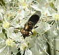 Riponnensia splendens (female) - Flickr - S. Rae.jpg
