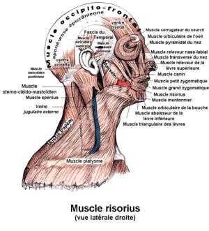 Français : Risorius. Anatomie humaine
