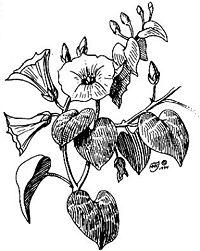 Rivea corymbosa 1838.jpg