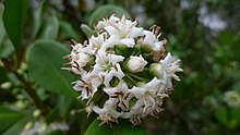 River Mangrove flower (8174791182).jpg