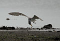 River Tern (Sterna aurantia) picking up something W IMG 9680.jpg