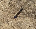 Robber Fly .Asilidae. Stichopogoninae (32539215340).jpg