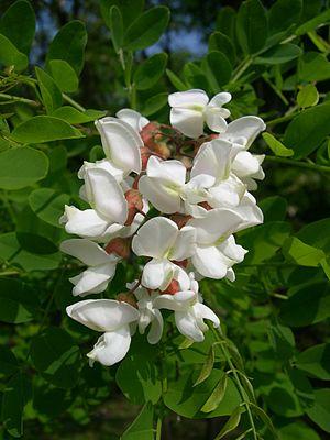 Robinieae - Robinia pseudoacacia