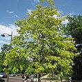 Robinia pseudoacacia 'fraisia' by Line1.jpg