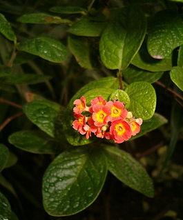 <i>Rondeletia</i> (plant) Genus of flowering plants