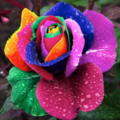 Rosa ArcoIris.png