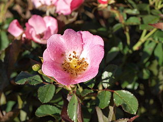 Rosa Carefree Delight by F. D. Richards.jpg