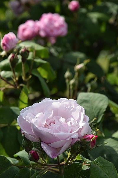 File:Rosa centifolia 'Fantin-Latour'.jpg
