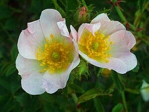 Rosa eglanteria FlowerCloseup2 10May2009 SierraMadrona.jpg