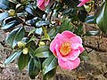 Rosales - Chaenomeles japonica - 13.jpg