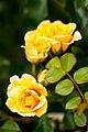 Rose, Name Unknown... (4726574723).jpg