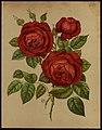 Rose 'Préfet Limbourg', 1878 (Livre d'Or des Roses).jpg