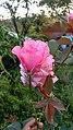 Rose in the garden of Himachal Pradesh.jpg
