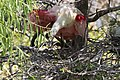 Roseate Spoonbill (on nest) Smith Oaks High Island TX 2018-04-27 12-36-07 (41479613454).jpg