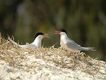 A pair of Roseate Terns facing each other and calling
