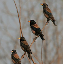 Rosy Starling (Sturnus roseus) near Hyderabad W2 IMG 4837.jpg