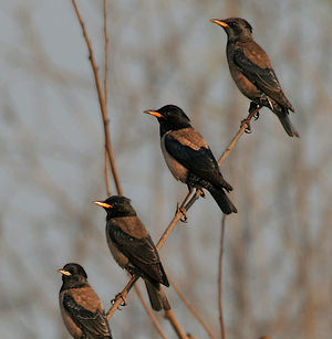 Rosy starling - In Hyderabad, India