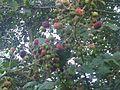 Rubus fruticosus wetland 14.jpg