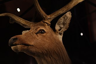 Schomburgk's deer - Close-up of the head