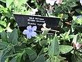 Ruellia humilis (Wild Petunia) (28191261993).jpg
