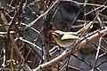 Rufous-capped Warbler Hunter Canyon Sierra Vista AZ 2018-02-06 11-32-01-2 (26260057328).jpg