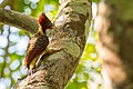 Rufous-headed woodpecker-Celeus spectabilis.jpg