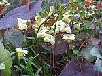 Ruhland, Grenzstr. 3, gelbe Elfenblume im Garten, blühend, Frühling, 01.jpg