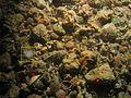 Sagartiidae WBRF CEND0313 ADDGT11 STN 192 A1 028.jpg