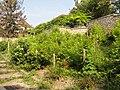 Saint-Prix (95), vignoble au pied de l'église du vieux village 2.JPG