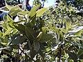 Salix Cordata-Weldy.jpg