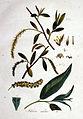 Salix alba — Flora Batava — Volume v1.jpg