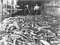 Salmon catch on the floor of an unidentified cannery, Puget Sound, between 1897 and 1900 (INDOCC 701).jpg