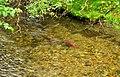 Salmon near Mendenhall Glacier.jpg