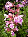 Salvia officinalis-20050607-1.jpg