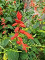 Salvia splendens-scarlet sage, tropical sage.jpeg