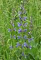 Salvia verbenacea . Wild sage ( or Wild Clary) (35006229333).jpg