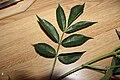 Sambucus nigra-leaves01.jpg