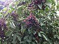 Sambucus nigra fruit 1.JPG