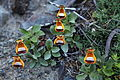 Sand Ladys Slipper (Calceolaria uniflora) (5501043003).jpg