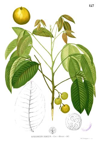 Sandoricum koetjape - Illustration of a santol, from Flora de Filipinas (1887-1883) by Francisco Manuel Blanco