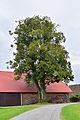 Sankt Aegidi - Naturdenkmal nd172 - Stuhlberger Linde - Sommerlinde (Tilia platyphyllos) - II.jpg