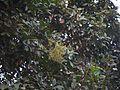 Sapindus emarginatus (8368398406).jpg