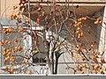 Sarı çikolatalar trabzon hurması kalp ve baarsak sorunlarına iyi geldiği bilinir. by ismail soytekinoğlu - panoramio.jpg