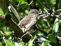 Sardinian Warbler Sylvia melanocephala - Flickr - gailhampshire.jpg
